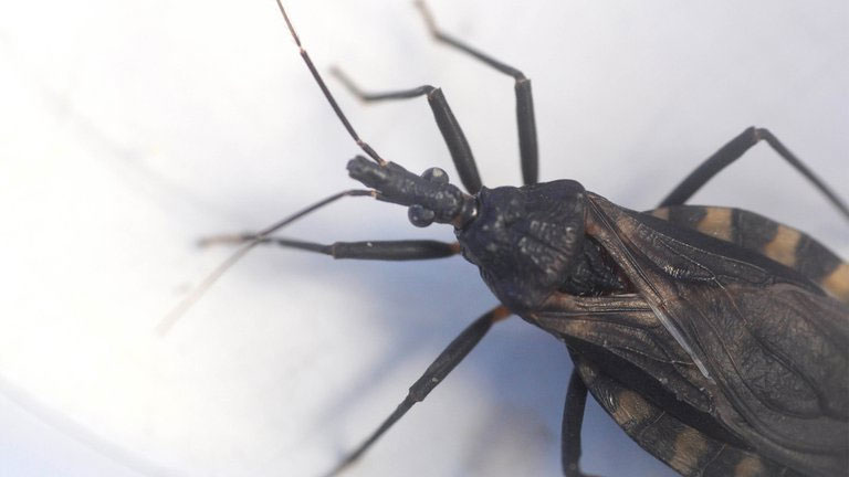 Chagas disease: in Argentina, data are worrying, with estimates of 1.6 million infected people, 7 million people at risk of becoming infected, and 1300 babies born with the disease every year. Photograph: Fernando Calzada.